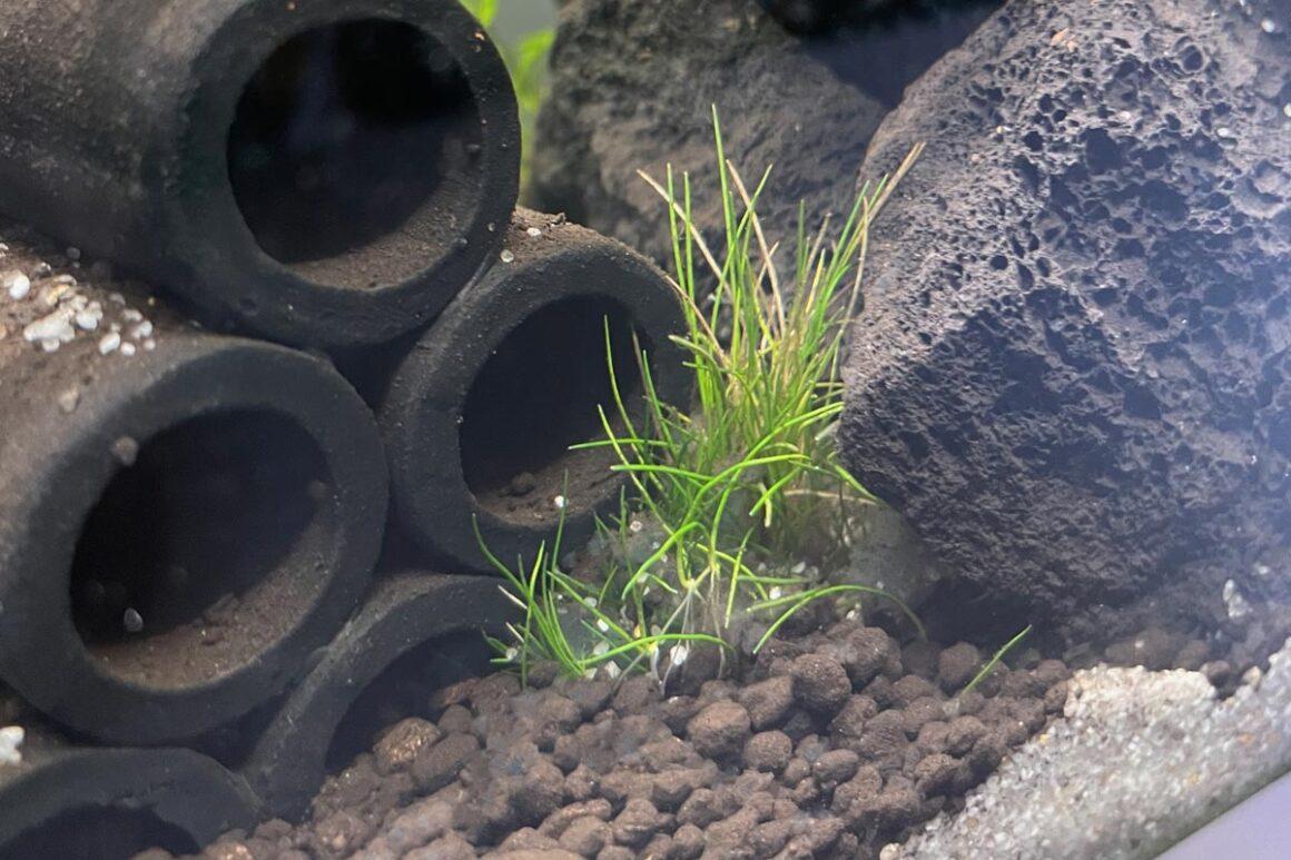 Eleocharis parvula Nano Aquarium