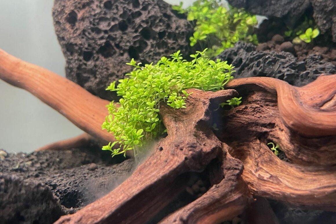 Micranthemum Monte Carlo Nano Aquarium