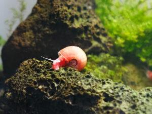 Posthornschnecke Nano Aquarium
