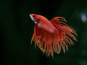 betta splendens rot